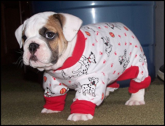❤ A  Bulldog --- needs to be dressed in BULLDOG 'JAMMIES - not Dalmatian 'Jammies! Even so ~ it's a beautiful puppy! ❤so cute ;)