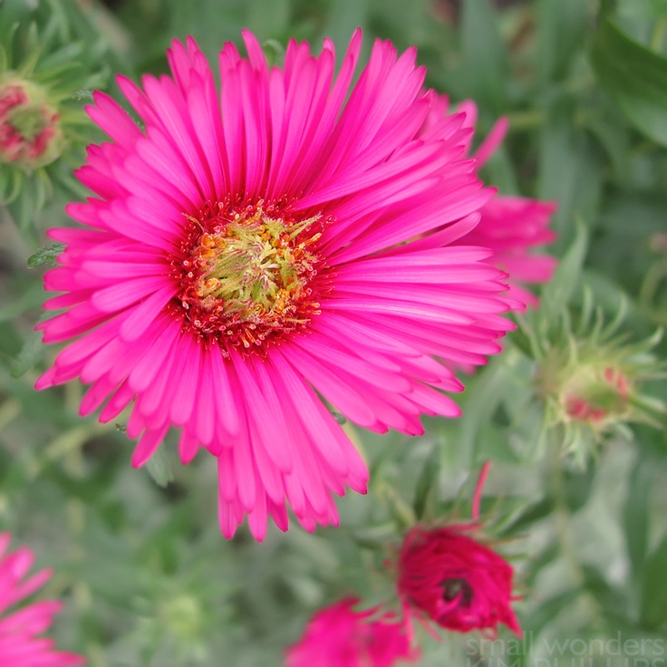 1000+ Images About The Asters On Pinterest