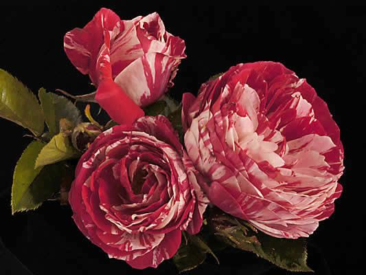 17 Best Images About Roses On Pinterest Gardens Pink