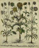 Basilius Besler - Linaria aurea/Goldhaar-Aster. Scabiosa Hispanica/Stern-Skabiose.