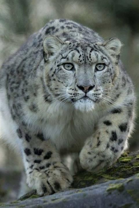 Stalking Snow leopard, Snow leopards are members of the cat family and roam the mountains of Asia. Loss of habitat and increasing encroachment by humans have led the snow leopard to be declared an endangered species.