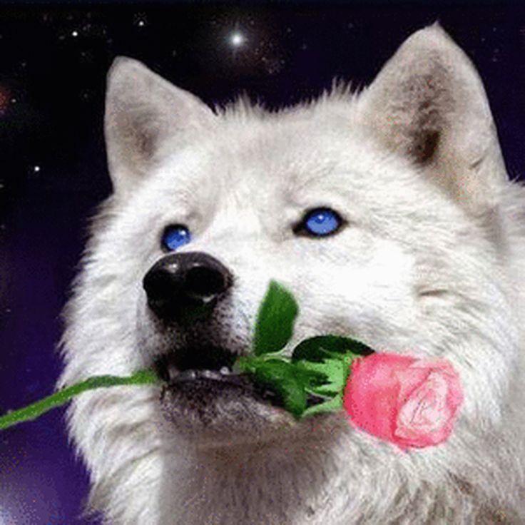 фото волк с розой в зубах того