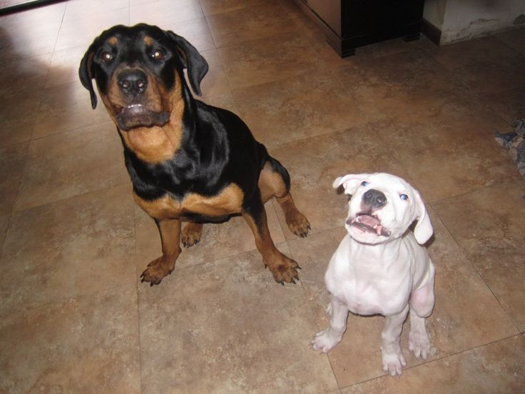 Rottweiler hembra 1 año y dogo argentino 2 meses