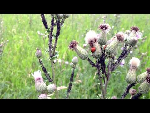 The Aphids have begun their annual march in Fish Creek Park, Calgary, Alberta, Canada. They first attack the fields of Canada Thistle feasting on it's juicy sap. In turn Ladybugs, Wasps, and Ants feast on the sugary goodness of the Aphids themselves. The Ants don't actually eat the Aphids, they eat the honeydew that aphids release from their digestive track. If you watch closely you can often see Ants tending to the Aphids and protecting them from predators.