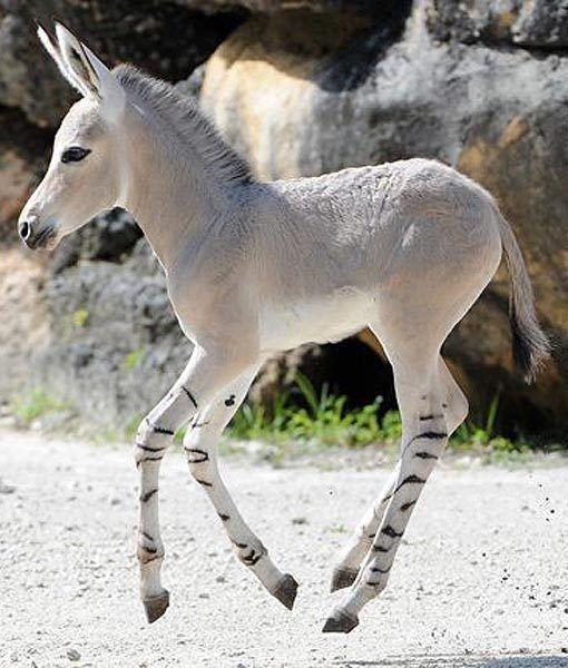 Somali Wild Ass-cute!