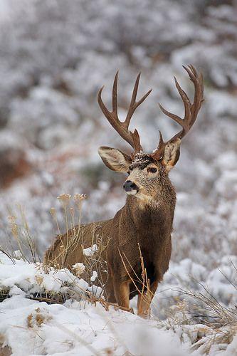 Mule Deer Buck in Snow | by Peter Eades
