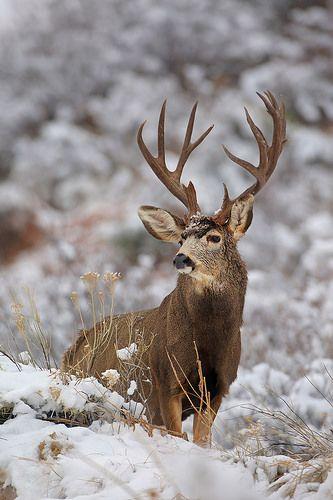 Mule Deer Buck in Snow | by Peter Eades