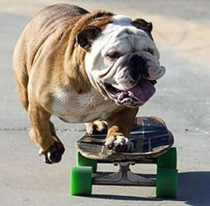 bull dog....: Friends, Go Dogs Go, Funny Dogs, Pet, English Bulldogs, Dogs Show, Skateboard Bulldogs, Animal Funny, Bull Dogs