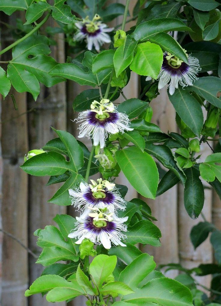 Flor do maracujá, planta trepadeira