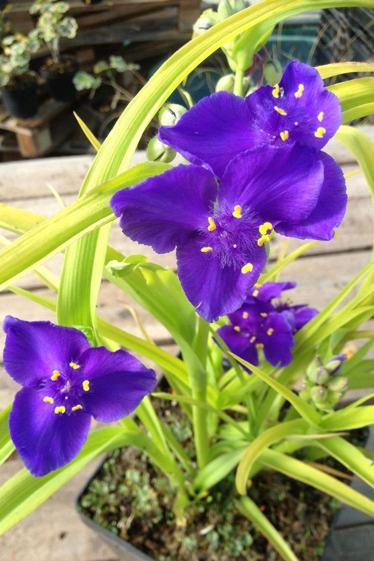 47 best piante erbacee perenni a fiori estivi images on for Fiori estivi perenni