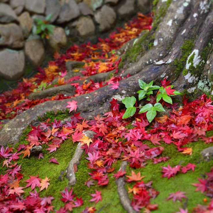 """The red leaves of """"koyo"""" season in Kyoto. This pic was taken at Kotou-in one of many sub temples in Daitoku-ji temple complex. Less crowded than expected, the zen temples here have such beautiful and peaceful gardens.  #紅葉#京都#京都観光#大徳寺#koyo#momiji#red#moss#temple#daitokuji#kotoin#zen#zengarden#redleaves#autumn#autumncolors#Japan#instagramjapan#travelJapan#Japantrip#IloveJapan#travellover#travellovers#travle#traveling#traveler#myadventure#explorejapan#JapanAdventure#JapanAdventures"""