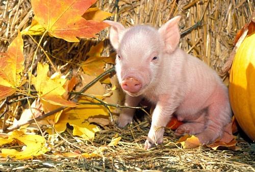 Piglet enjoys autumn