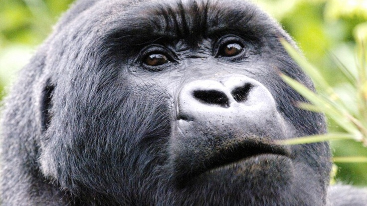 The mountain gorilla (Gorilla beringei beringei) is one of the two subspecies of the eastern gorilla. There are two populations. One is …   Big Fellahs   Pinte…