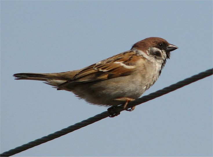 four sparrows in the neighbouring gardens this morning
