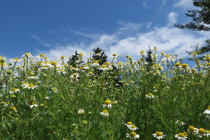 Daisies and the sky!! // Minnesota Landscape Arboretum
