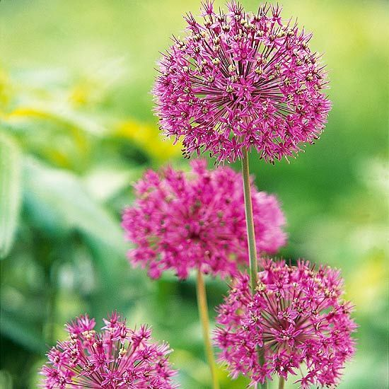 This variety is a showstopper thanks to its 3-inch-wide globes of rich purple flowers.