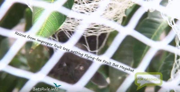 Rescue from Improper fruit tree netting #rescue #fruittree #netting http://www.batsrule.info/2012/07/rescue-from-improper-fruit-tree-netting.html #batsrule #megabat #fruitbat #flyingfox #batsofaustralia