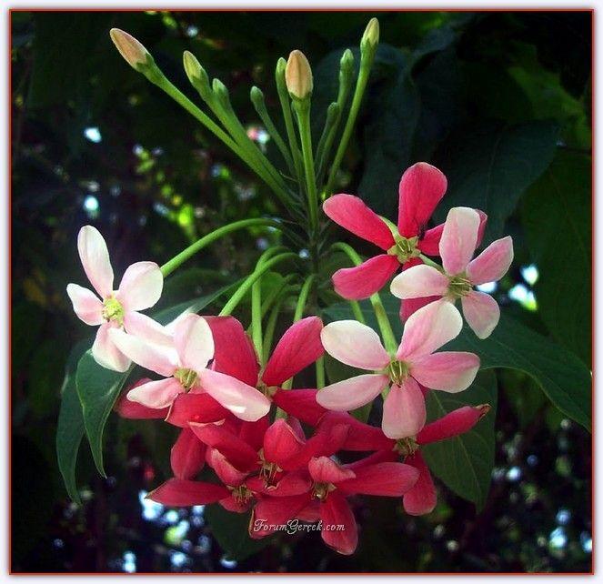 Çin Hanımeli Çiçeği (Bindallı Sarmaşığı) - Sayfa 2 - Forum Gerçek