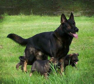 Vom Banach K9 breedings are Czech, East German/DDR, and West German working line combinations.