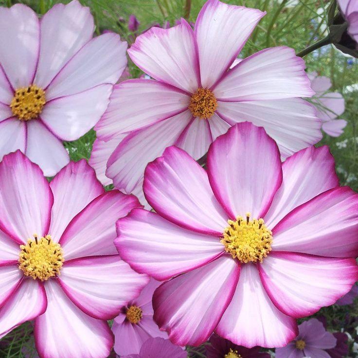 Cosmos Seeds - PICOTEE - Heavy Flowering - Cosmos Bipinnatus - 25 Seeds | eBay