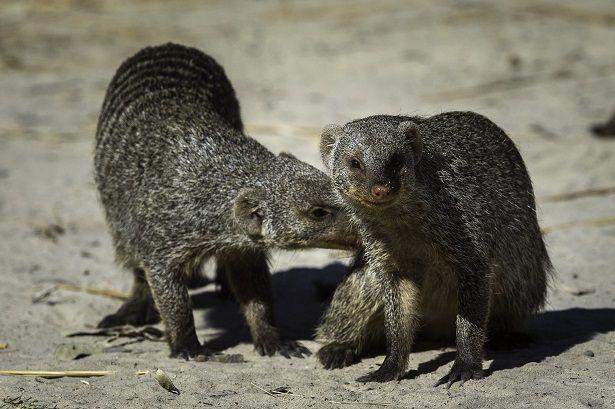 Banded mongoose #safari #Botswana