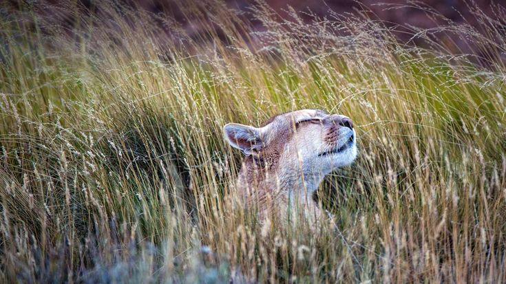 「ピューマ」チリ, トーレス・デル・パイネ国立公園 (© Benjamin Lowy/Getty Images)(Bing Japan)