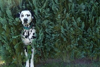 11 Spotted Facts About Dalmatians | Mental Floss