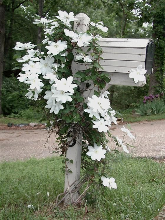 """Clematis """"Henryi"""" appropraite for a mailbox.  Just begs...""""Henry!"""" ala Love Shack."""
