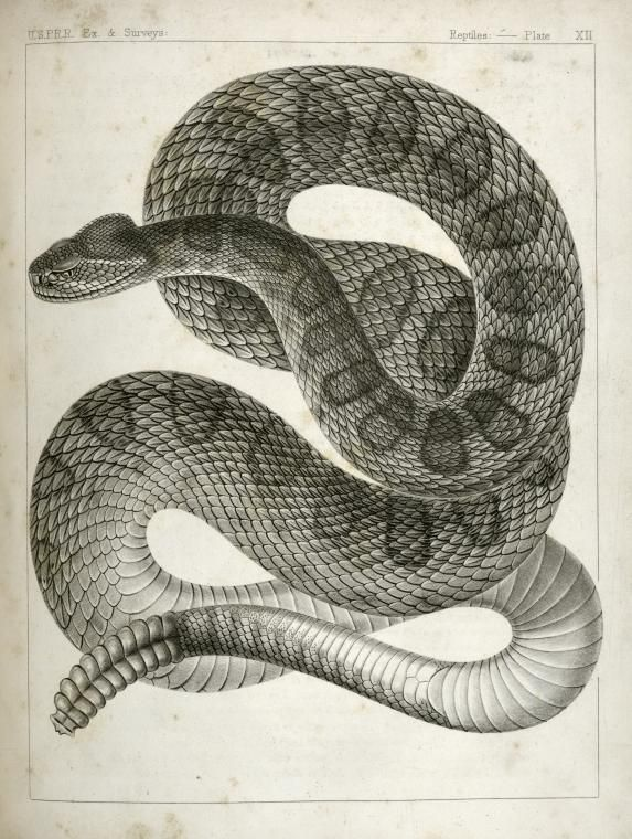 Crotalus Confluentus  Prairie Rattle Snake   1860