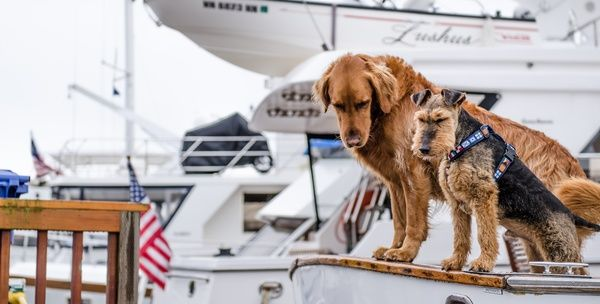Whether your dog is your best or second best friend, when it comes to boat safety, there's no difference. Just like your family members and guests, your pet needs to be handled with care by following specific boat-safe procedures. The leading insurance companies offer these seasoned tips for boaters. RELATED: Holiday Pet Safety Tips Beyond NJ Boat Insurance: Canine Safety Tips Purchase a life jacket that fits well on your dog. Make sure you
