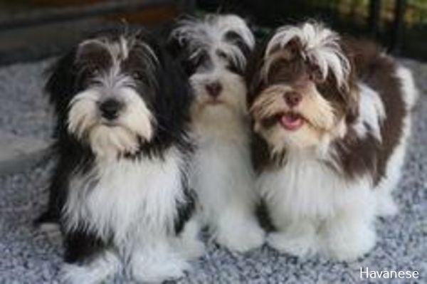 Pin On Havanese Puppies