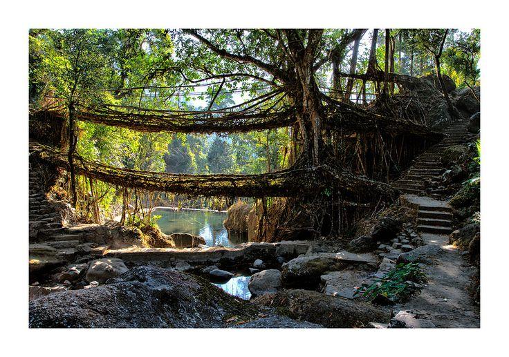 Root bridges of India | The living root-bridges of Nongriat … | Flickr