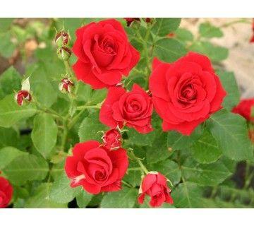 De Nina Weibull roos is uitstekende geschikt voor koudere streken. Opvallende en prachtige rode bloemen.