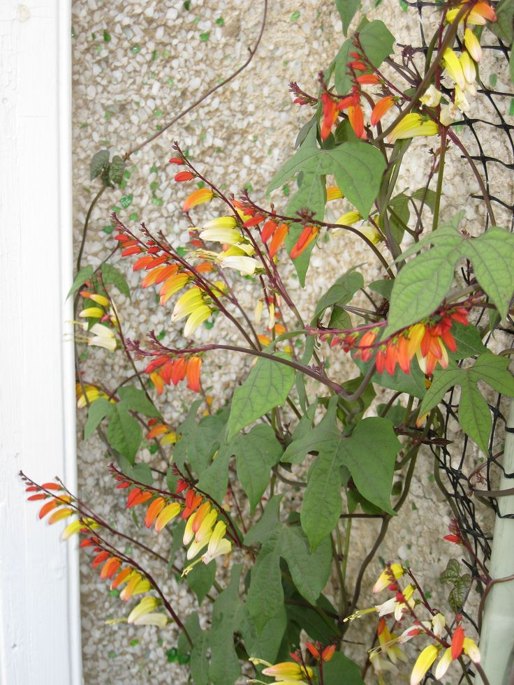 Firecracker Vine ('Exotic Love') in bloom on July 7. I've never grown this plant before. It's a real show-stopper.