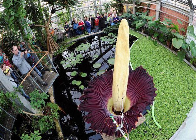 La flor cadáver, la más grande del mundo, apesta y florece en un ...
