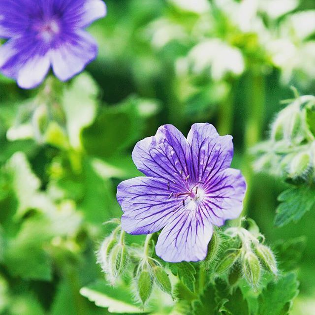 - Geranium named Johnson's Blue - #geranium #johnsonsblue #flowers #garden #jettesgarden #gardening #gardenvisits #gardendesign #jettefrölich #jettefroelich #blomster #have