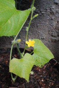 Kivakurkku - Cucumis metuliferus - Kiwano  Trooppiset hyötykasvit huonekasveina - kasvit ovat kaupasta ostettujen hedelmien siemenestä kasvatettuja.