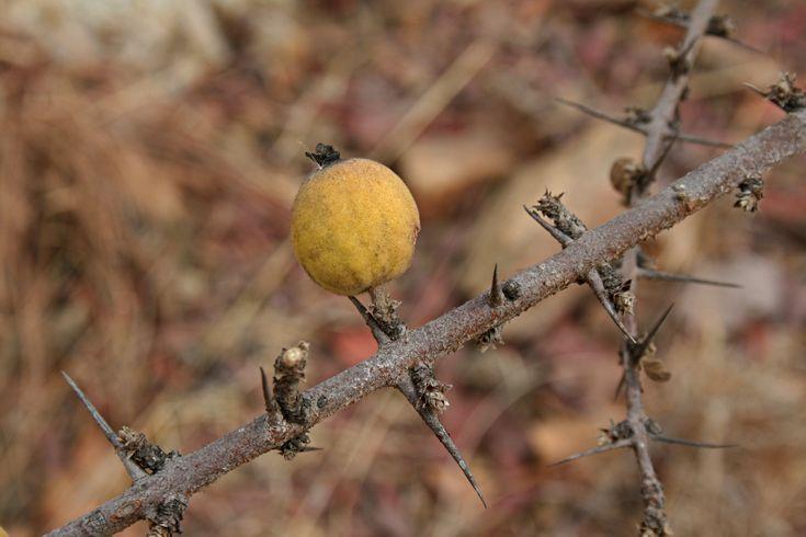 Xeromphis Obovata/Catunaregam Taylorii       Thorny Bone-apple      Doringbeenappel       S A no 689