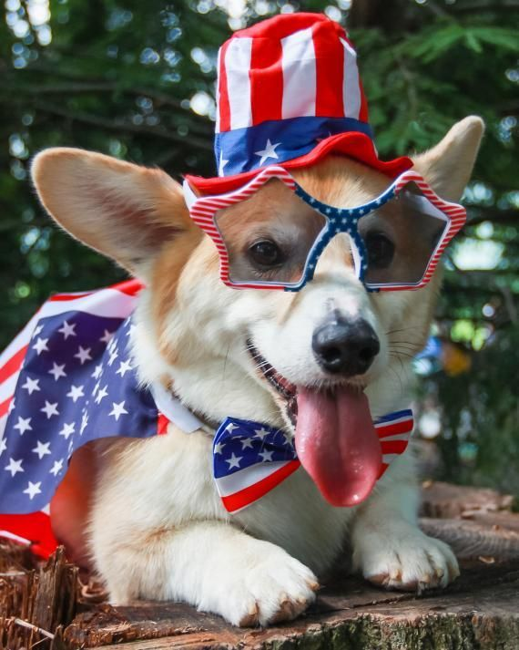 A Corgi Who Canu0027t Wait For The 4th Of July!