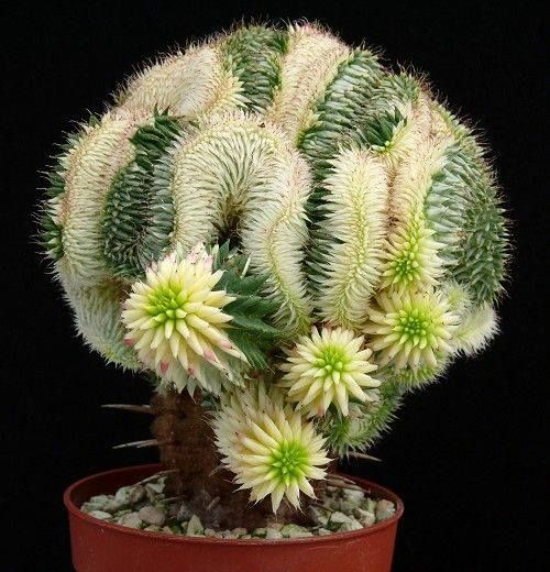 Euphorbia susannae (variegated cristate)