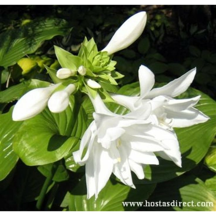 World,s largest hosta database at hostasdirect.com. Huge selection of hostas like this photo of Hosta 'Aphrodite' as well as large inventory of Heucheras