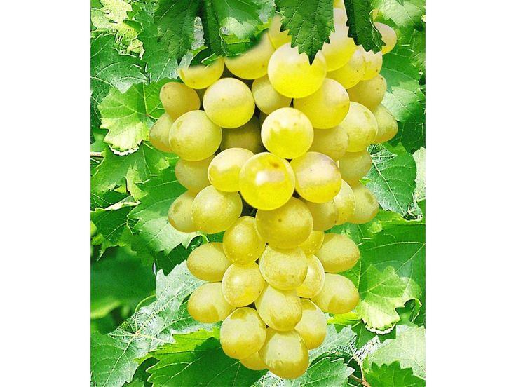 Kernlose Tafel-Trauben 'New York®' Weinreben, 1 Pflanze, Vitis vinifera 1