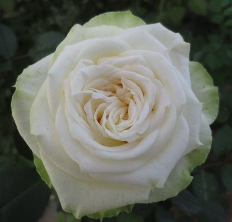 Romeo. Cream FlowersWhite FlowersGarden RosesWedding ...