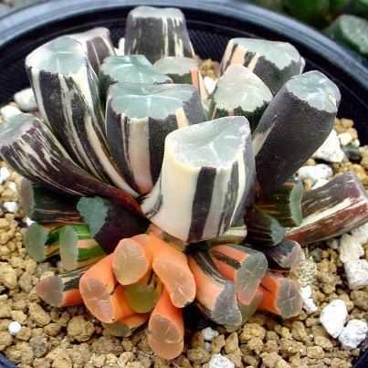 Haworthia maughanii How to create a sea-creature succulent garden - Boldly colored. With the wonderful world of succulents, you can mimic an underwater garden   Colorful DIY succulents Drought Friendly Drought Tolerant California Garden #SymbolicHoldings
