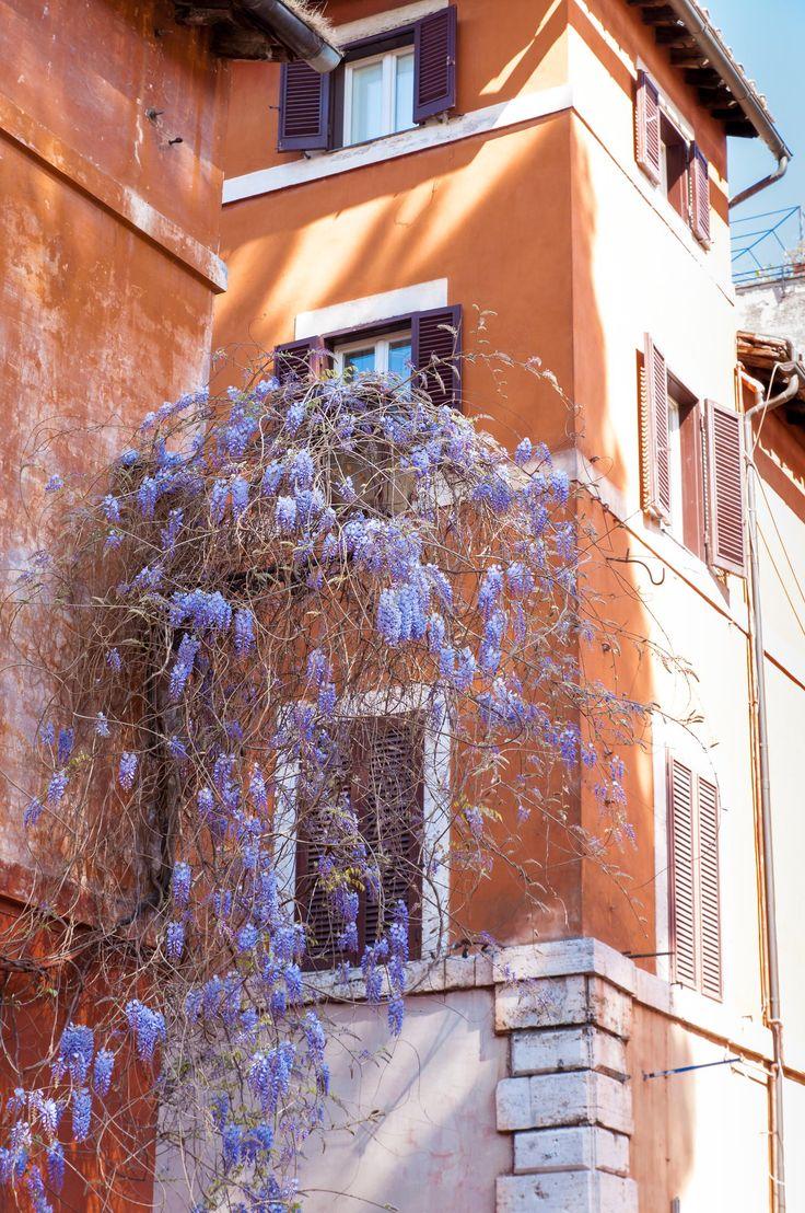Wisteria Flowers, Trastevere, Rome