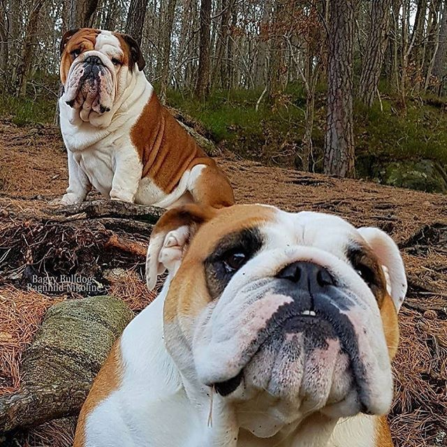 Baggy Bulldogs All About English Bulldogs Bulldog Puppies
