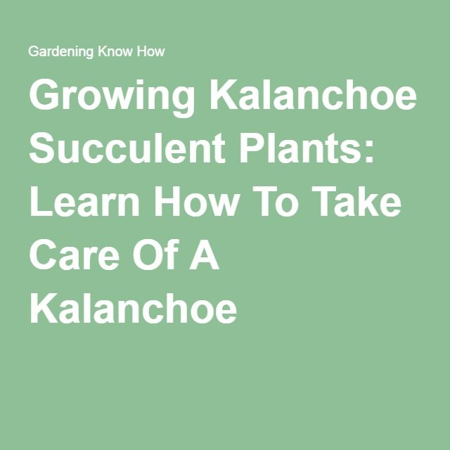 Growing Kalanchoe Succulent Plants: Learn How To Take Care Of A Kalanchoe