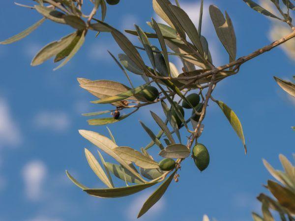 Wie Ihr Den Olivenbaum Daœngen Ka Nnt Mein Mediterraner Garten Olivenbaum Olivenbaumchen Mediterraner Garten