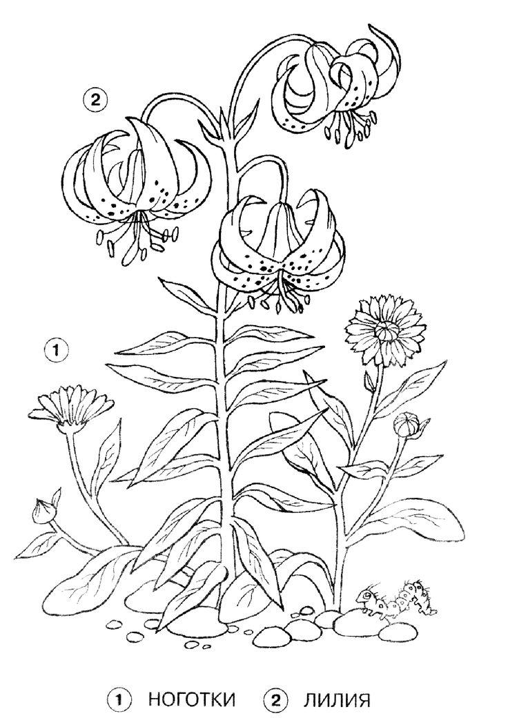 Раскраска Лилия и ноготки | Раскраски, Цветы, Бесплатные ...