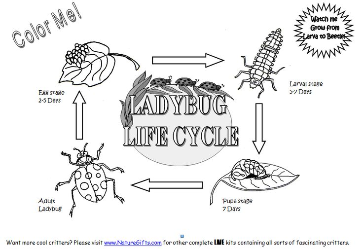 ladybug coloring picture 5